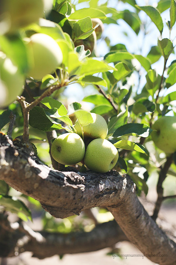 Green apple tree. Find out what type of apples work best in homemade crockpot applesauce.