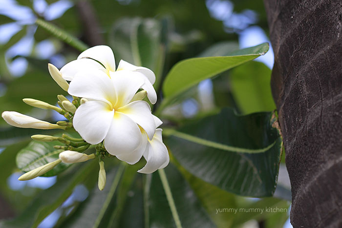 hawaii plumeria tree