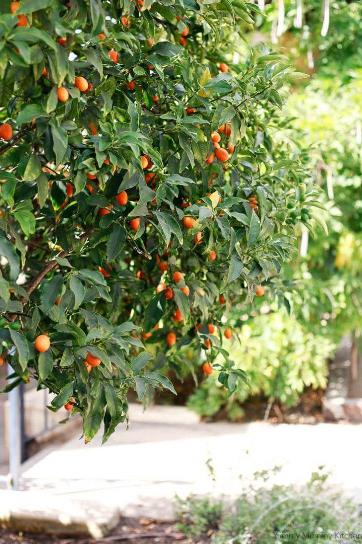 A California kumquat tree with little orange kumquats ready to be picked for kumquat marmalade.