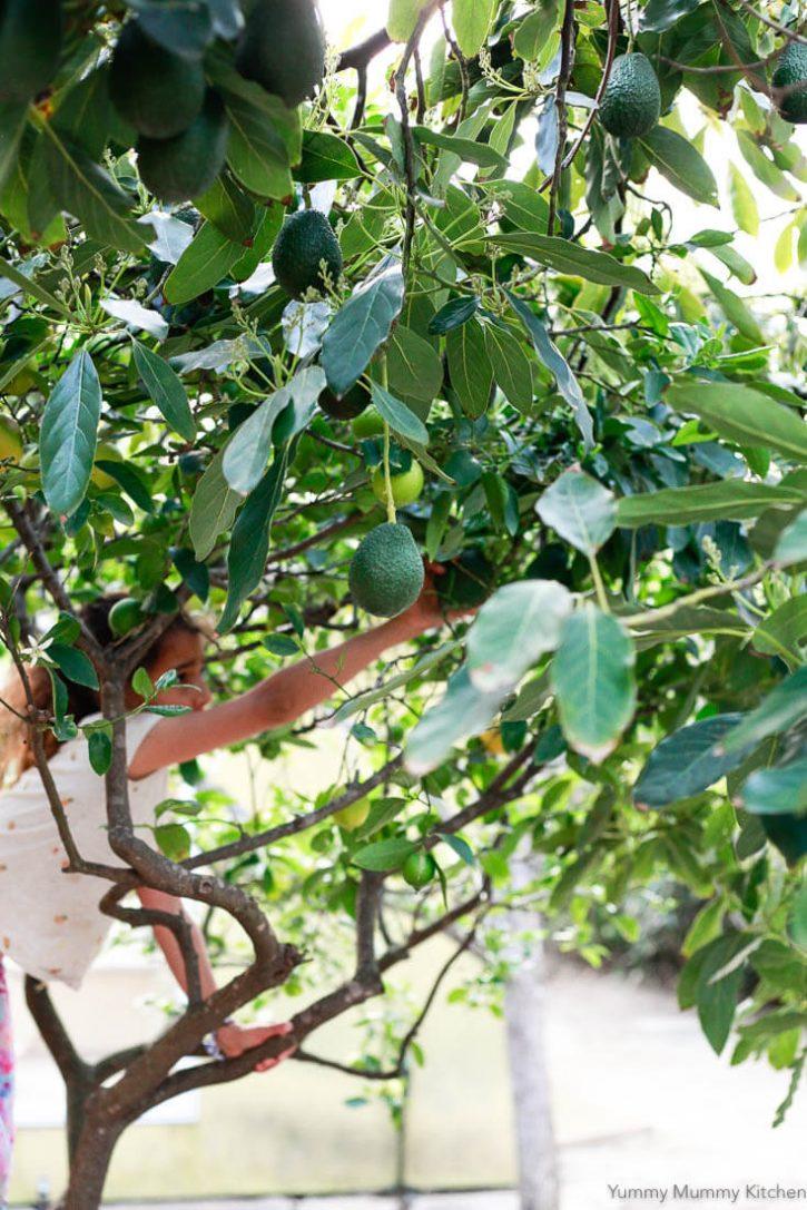 A little girl reaches for an avocado in a Haaz avocado tree in California.