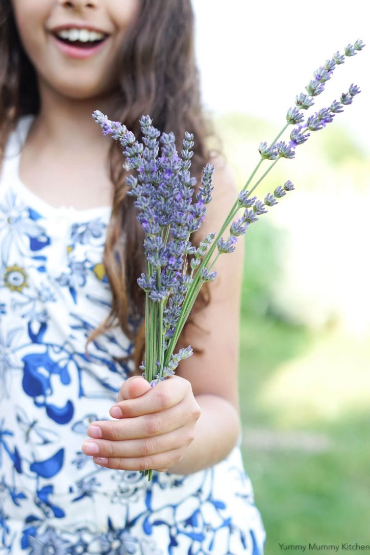 A little girl picks fresh lavender.