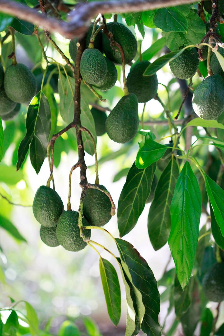 Mature Haas avocados on a tree.